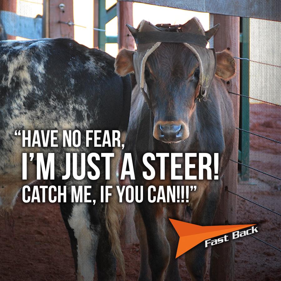 Steer.jpg