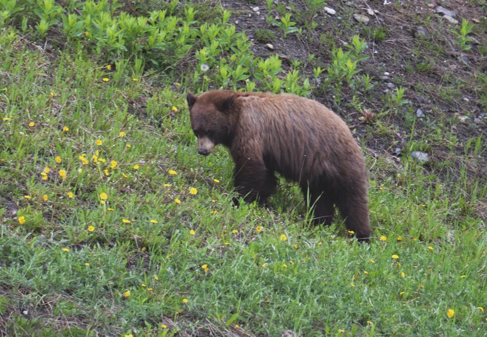 Bear - Banff