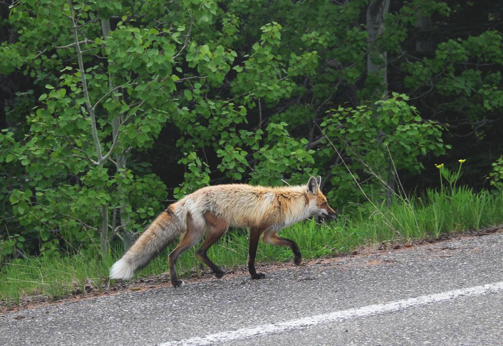 Fox in Glacier Park - Canada