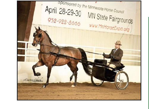 HyLee's Spotlight-2017 NCMA Futurity Gelding and Two Year Old Pleasure Driving Champion