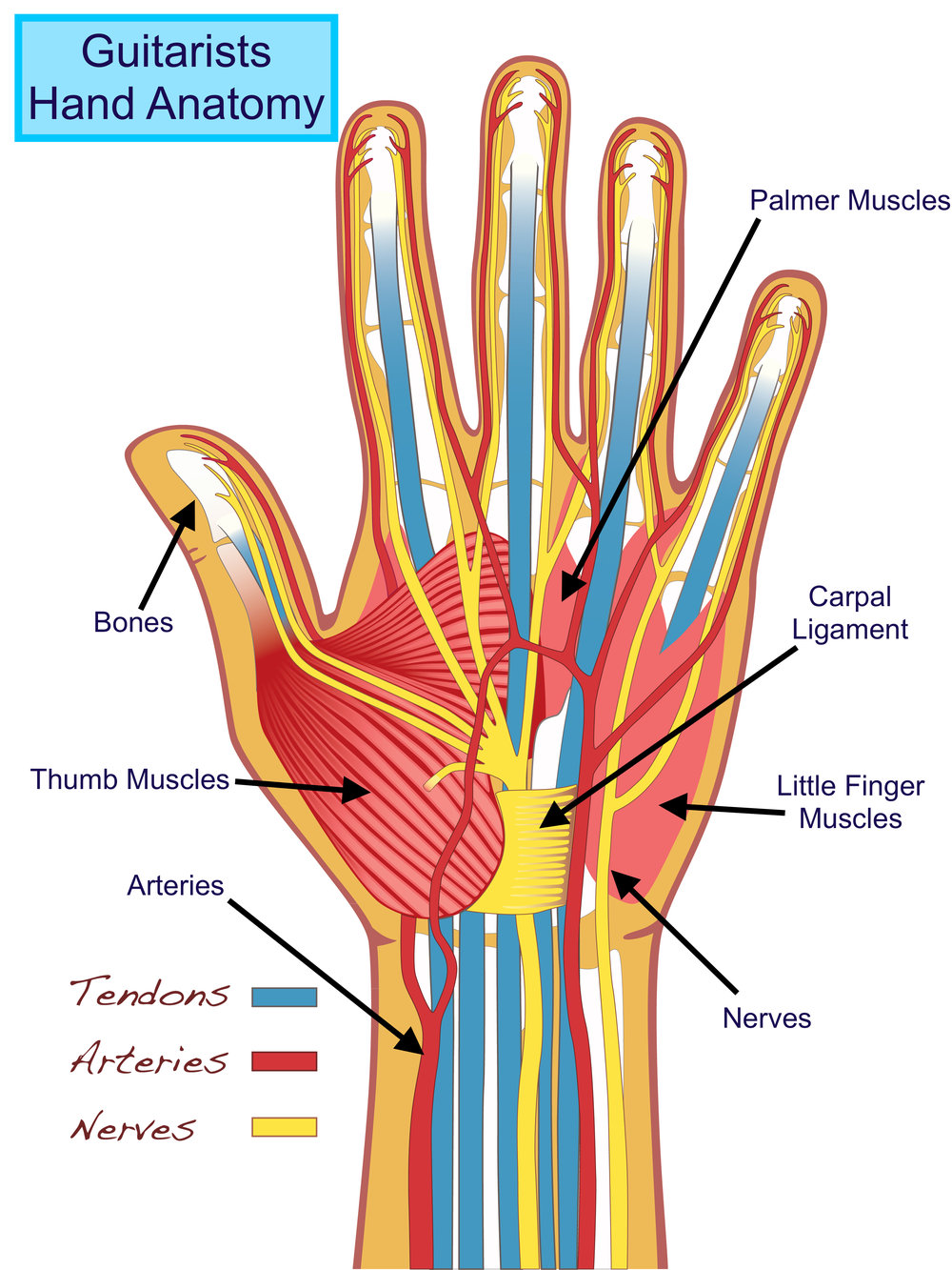 Hand Anatomy Tuned In Guitar Lessons