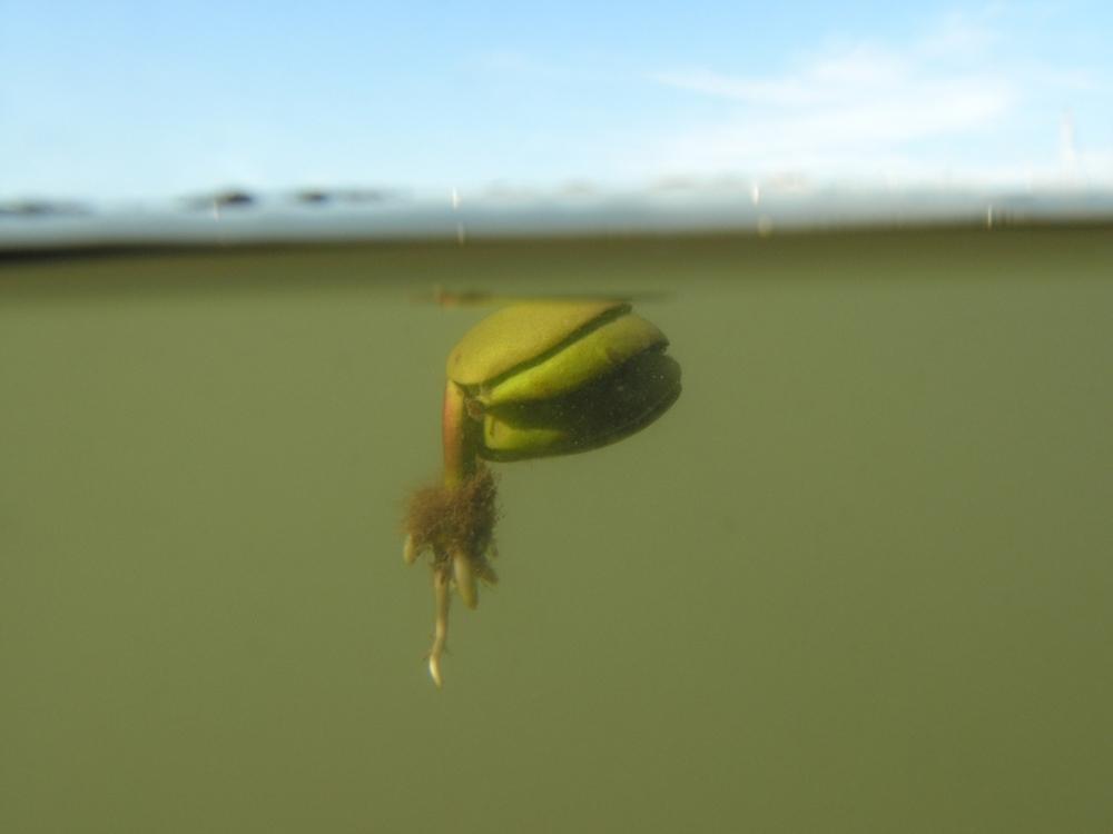 Mangrove_seed_floating_4b_hastings_jan11_1024