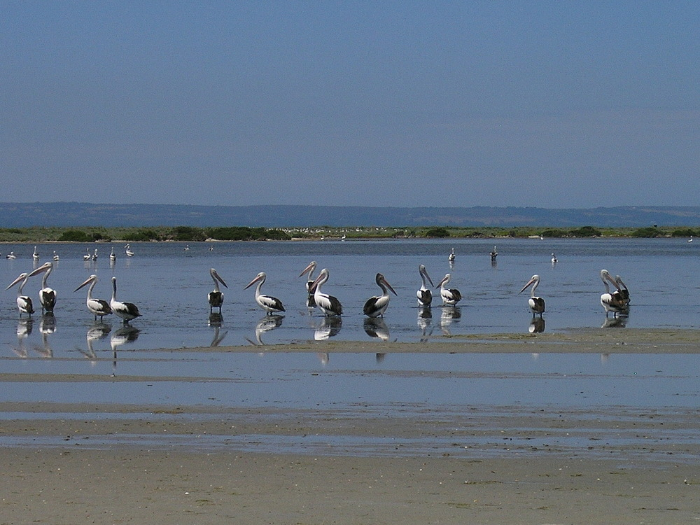 Pelicans_in_the_central_lagoon