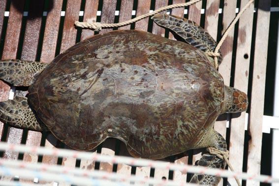 17largish_green_turtle