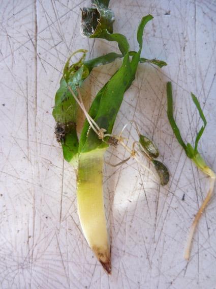 27dagger_seagrass