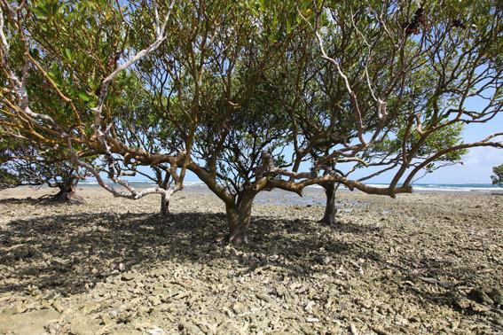 Bi_mangrove