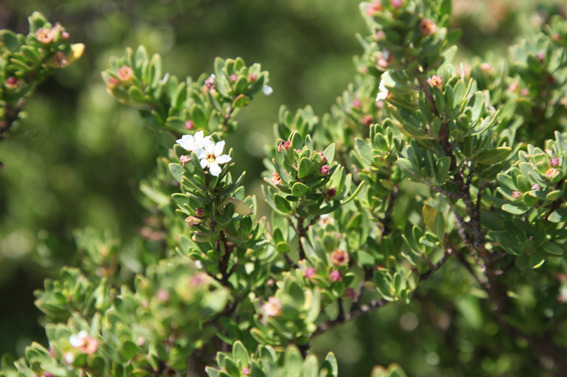 Mangrove_flower