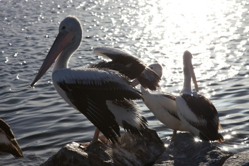 Pelicans on the boat launch near where Pelican1 is moored in Bermagui harbour.