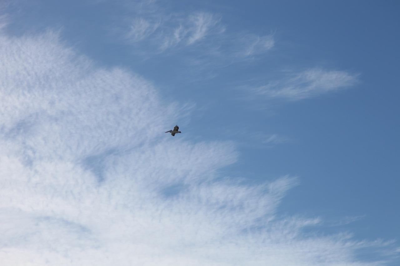 Pelican above Pelican1 in Bermagui #photooftheday