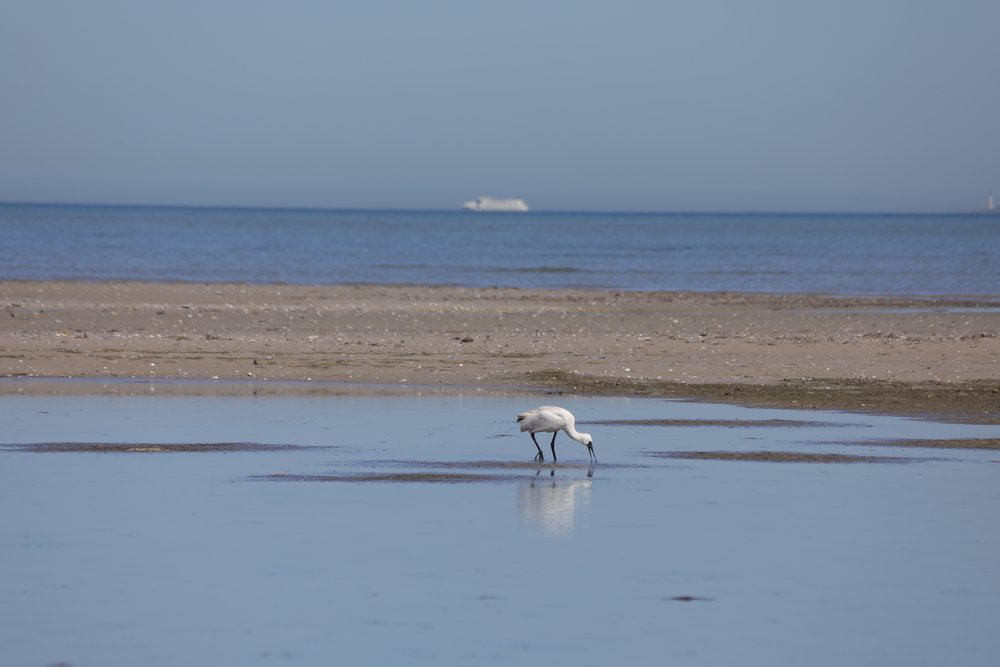 feeeding spoonbill and boat.jpg