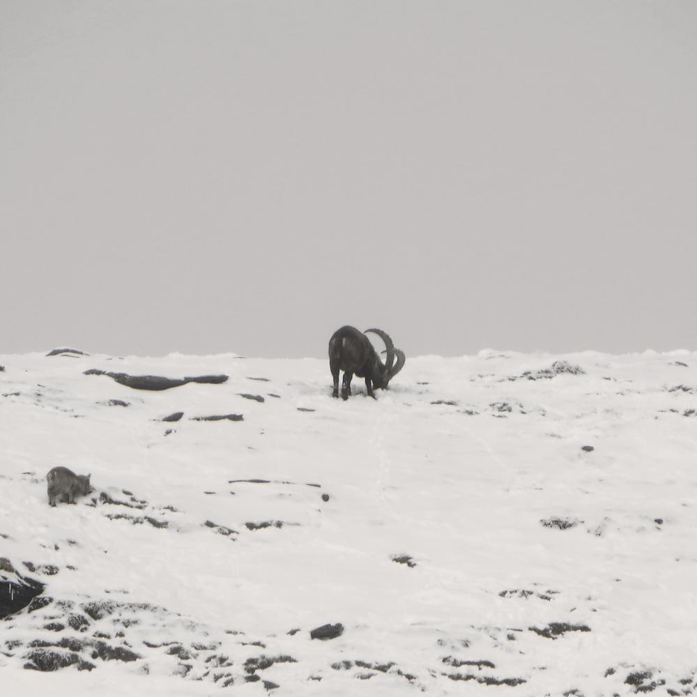 The Ibex