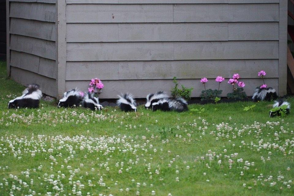The family of skunks living in Bruce and Nicki's backyard