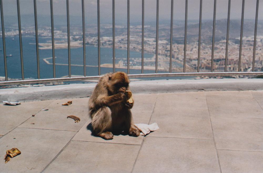 Gibraltar Barbary ape monkey