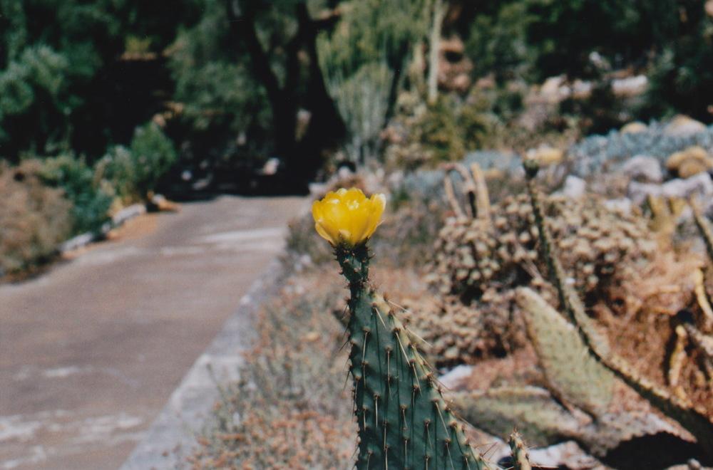 Gibraltar cactus