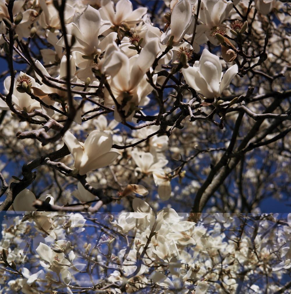 White magnolia flowers