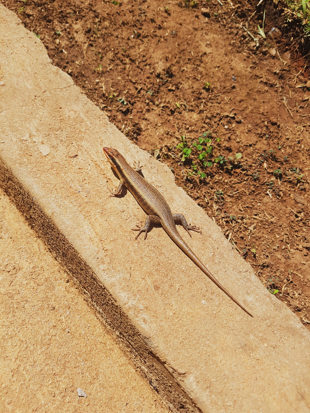 Groovy Little Lizard - It seems to enjoy sunning itself in my front yard. This photo was just a quick snap with my phone's camera.