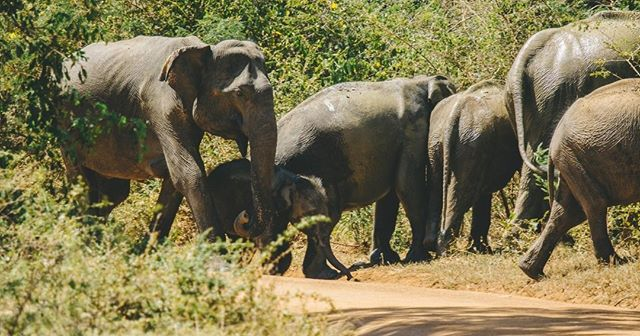 🐘 The Sri Lankan elephant (Elephas maximus maximus) is one of three recognized subspecies of the Asian elephant, and native to Sri Lanka. Since 1986, Elephas maximus has been listed as endangered by IUCN as the population has declined by at least 50% over the last three generations, estimated to be 60–75 years. The species is primarily threatened by habitat loss, degradation and fragmentation. [Wikipedia]  -  Came across this adorable family crossing the road in Yala National Park. It was the best wee surprise during a lunch break 😍  -  #visitsrilanka #sosrilanka #srilankanelephant #asianelephant #elephasmaximusmaximus #travelon #wanderlust #srilanka #ceylon #elephantlove #elephantherd #matriarchy #wildlifephotography #yalanationalpark #exploringtheglobe #travelog #traveldiaries #animalsofinstagram #instaelephant #babyelephant #babyanimals  #travelgram #travelsrilanka #exploresrilanka #beautifuldestinations #photooftheday #instatravel #travelphotography #instadaily #earthcapture @bbcearth