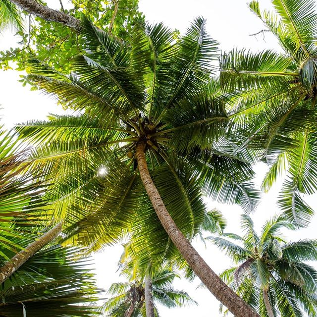 A N D A M A N & N I C O B A R || These islands are full of coconut palms 🥥🌴 These ones were captured on Ross Island (officially known as Netaji Subhas Chandra Bose island).  -    #travel #beach #andamansea #paradise #island #travelgram #asia #travelling #tropical #tropics #wanderlust #coconut #palmtrees #mothernature #dreamdestinations #instagood #incredibleindia #photooftheday #instatravel #earthcapture @bbcearth