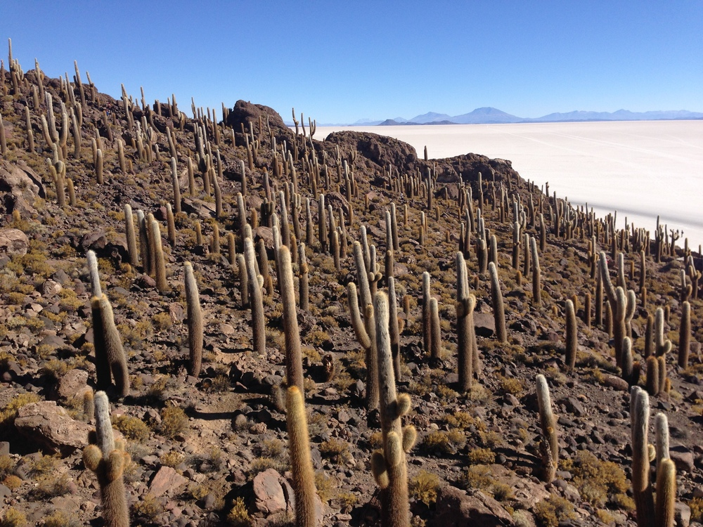 Cactus forest in the middle of the Salar