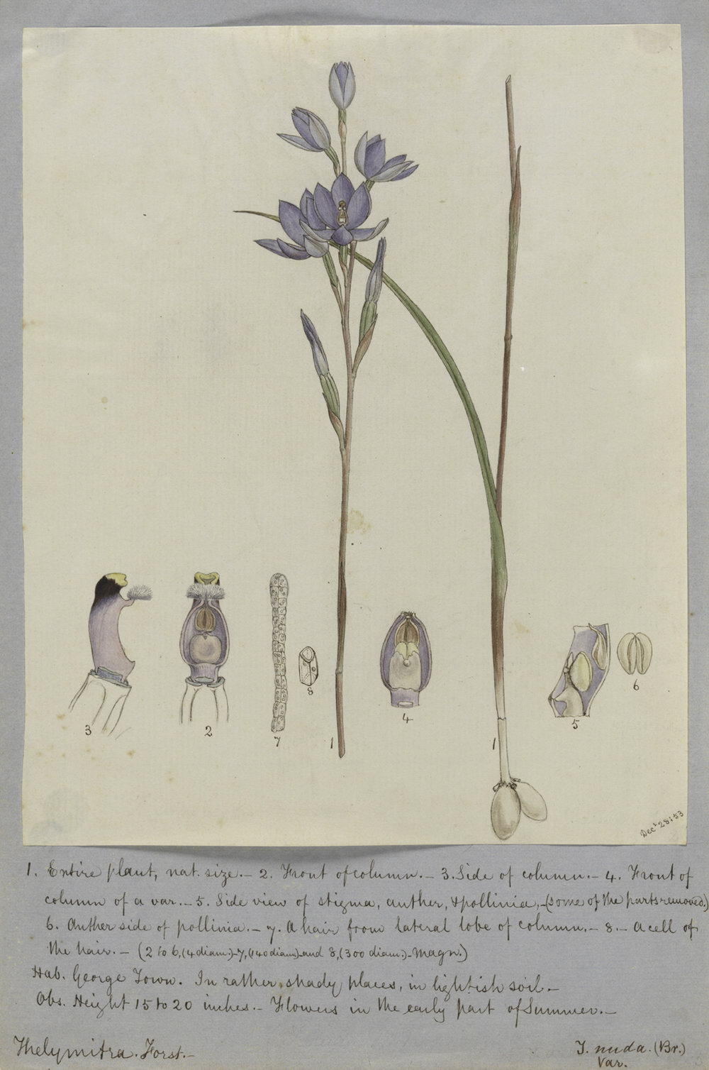 Image courtesy of Tasmanian Museum and Art Gallery William Archer (1820-74)  Thelymitra nuda 1853 pencil, pen and ink and watercolour on paper  Collection: Tasmanian Museum and Art Gallery  Presented by John Lorimer, Canberra, under the Cultural GiftsProgram, 2004 AG7715