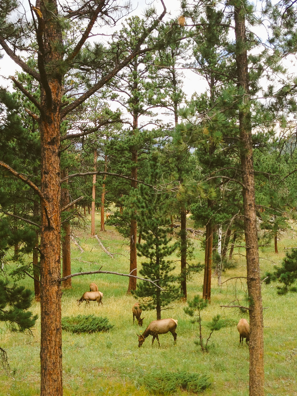 rocky-mountain-national-park-elk