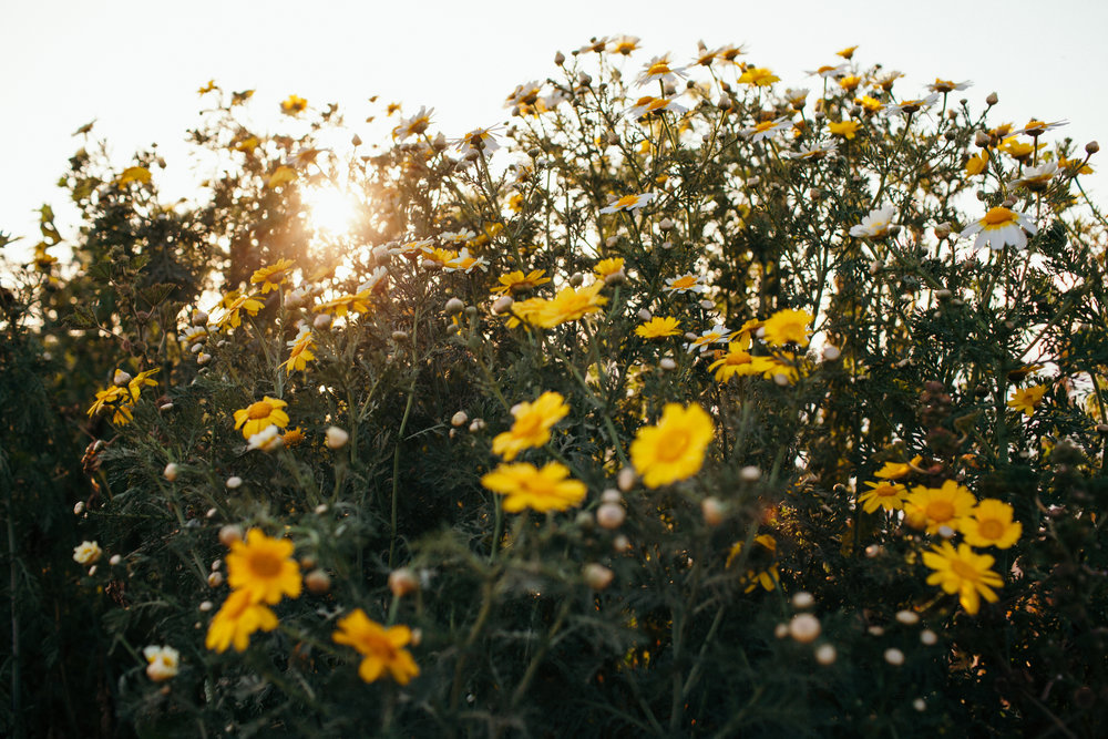 Sunset Cliffs San Diego Sunset Wildflowers - We Wild Beasts