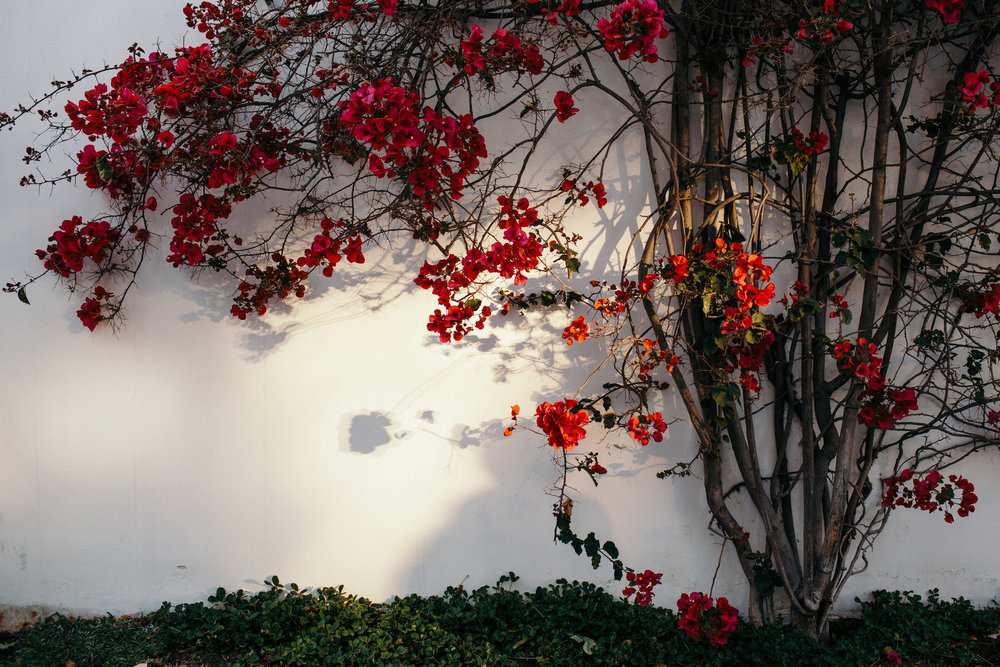 Bougainvillea Venice Beach Canals Sunset Los Angeles California
