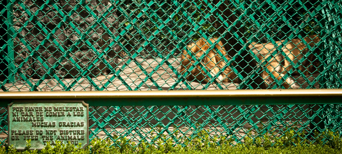 netanews :     A solo una cuadra de Los Pinos, en un hotel tienen viviendo en una jaula de 25 mts2 a un par de leones