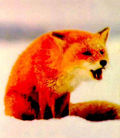 fox call.JPG