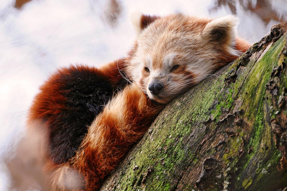 A beautiful Red Panda (Ailurus fulgens), and Not a Firefox.