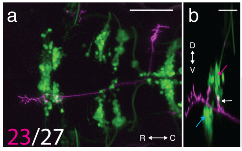 a) A single neuron that projects to extraocular motoneurons that move the eyes downward. Image is a top-down view of a larval zebrafish; magenta labels a single neuron. Green clumps of circles are motoneurons in the cranial nuclei. b) Side view of the same neuron; Magenta arrow points to neurons that move the eyes downward, blue to neurons that move the eyes upward, and white points to the prominent projection to eyes-down motoneurons.