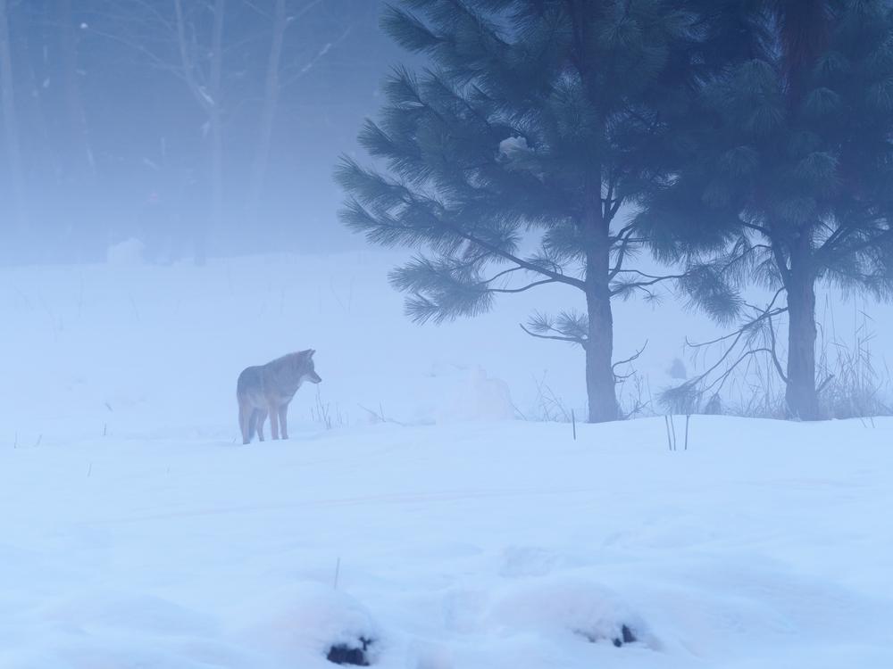 Yosemite Coyote-1.jpg