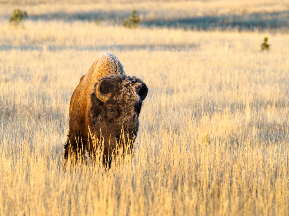 Bison in Yellowstone-1.jpg