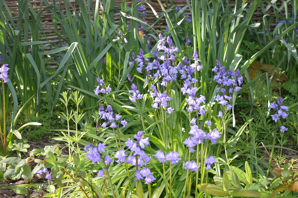 Stunning bluebells in the guest garden