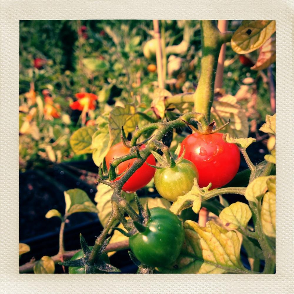 bptomatoes.jpg