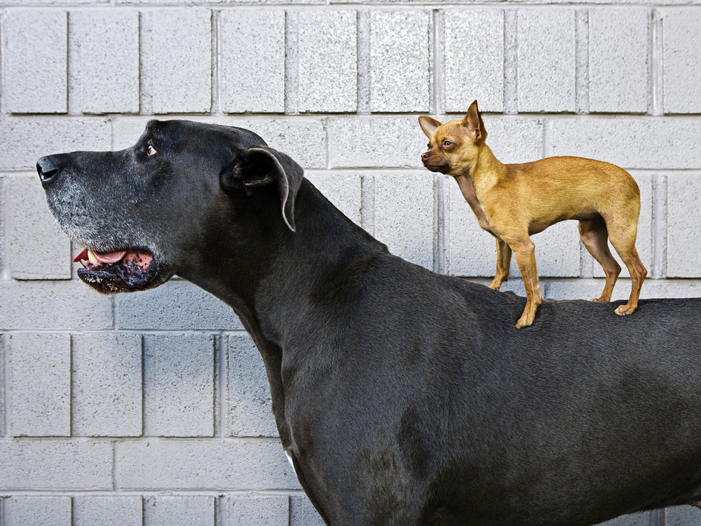 Chihuahua & Great Dane