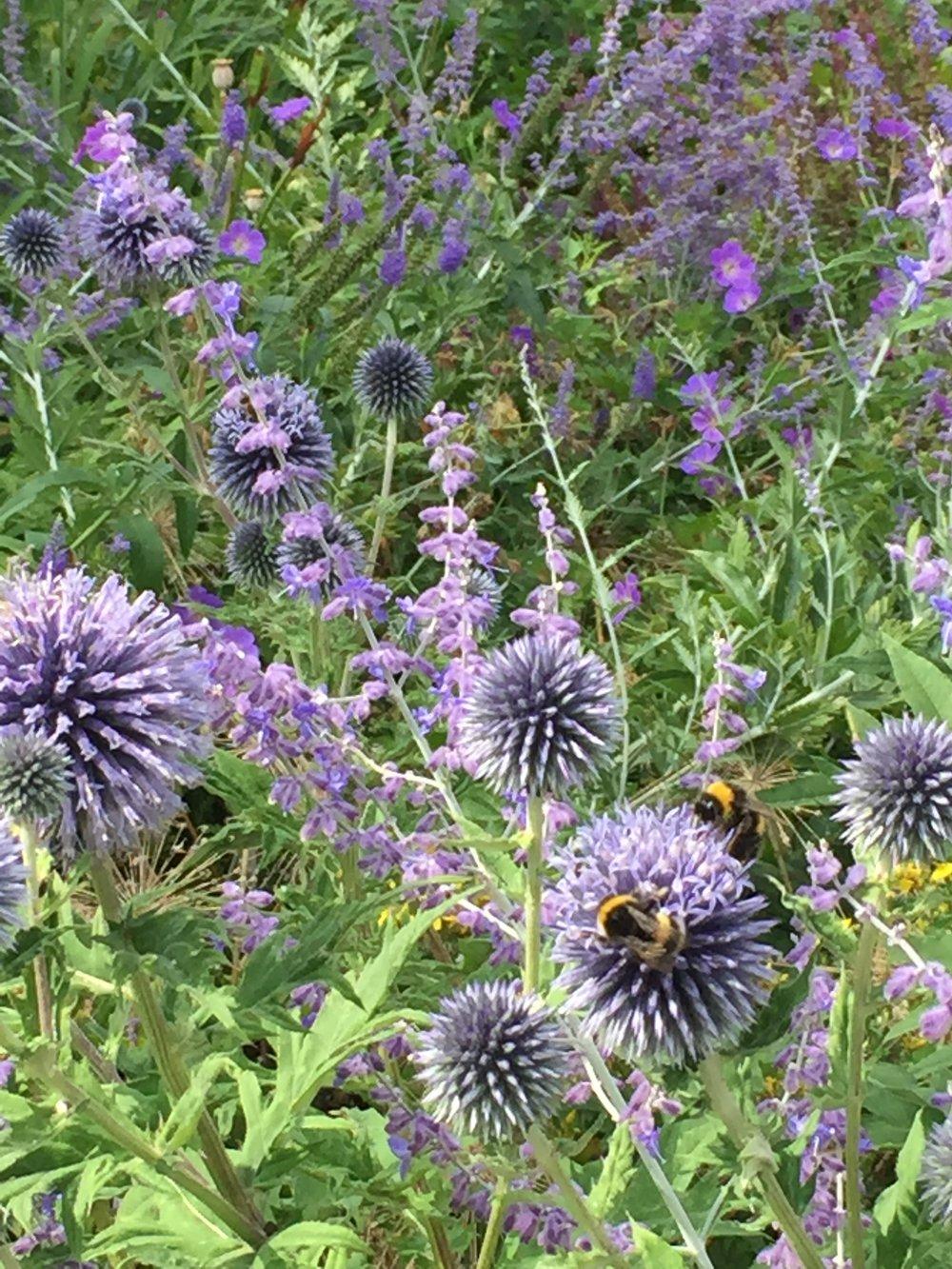 bumblebees on echinops ritro