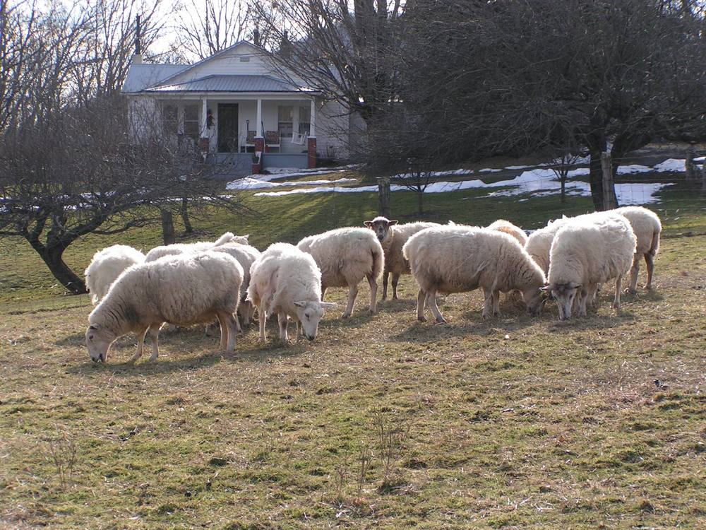 First 12 ewes ready to lamb next week!  Separated and close to home for lambing season.