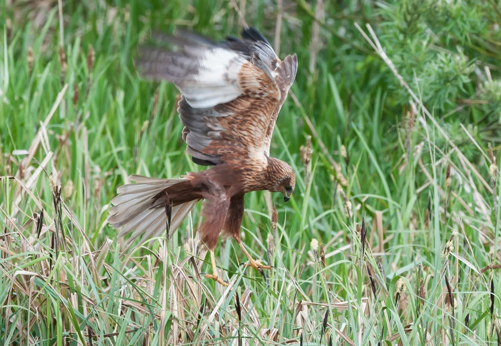Marsh+Harrier+(12+of+21).jpg