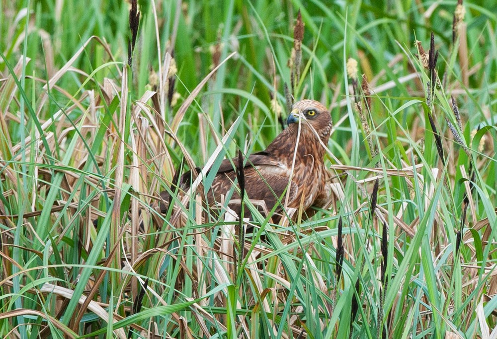 Marsh+Harrier+(15+of+21).jpg