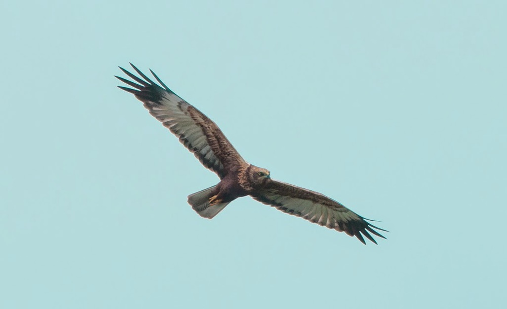 Marsh+Harrier+(20+of+21).jpg