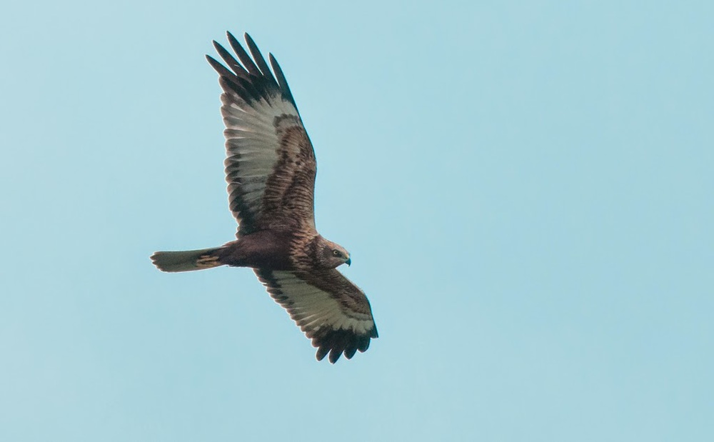 Marsh+Harrier+(21+of+21).jpg