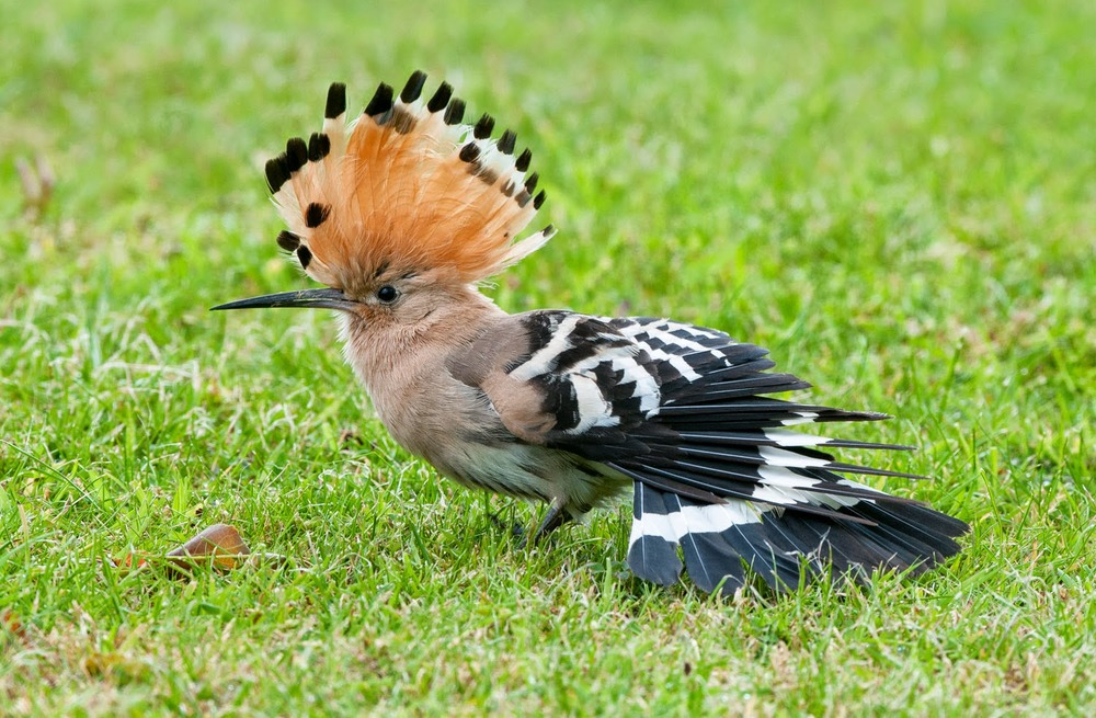 Hoopoe+Saturday+(2+of+11).jpg