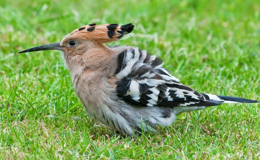 Hoopoe+Saturday+(1+of+11).jpg