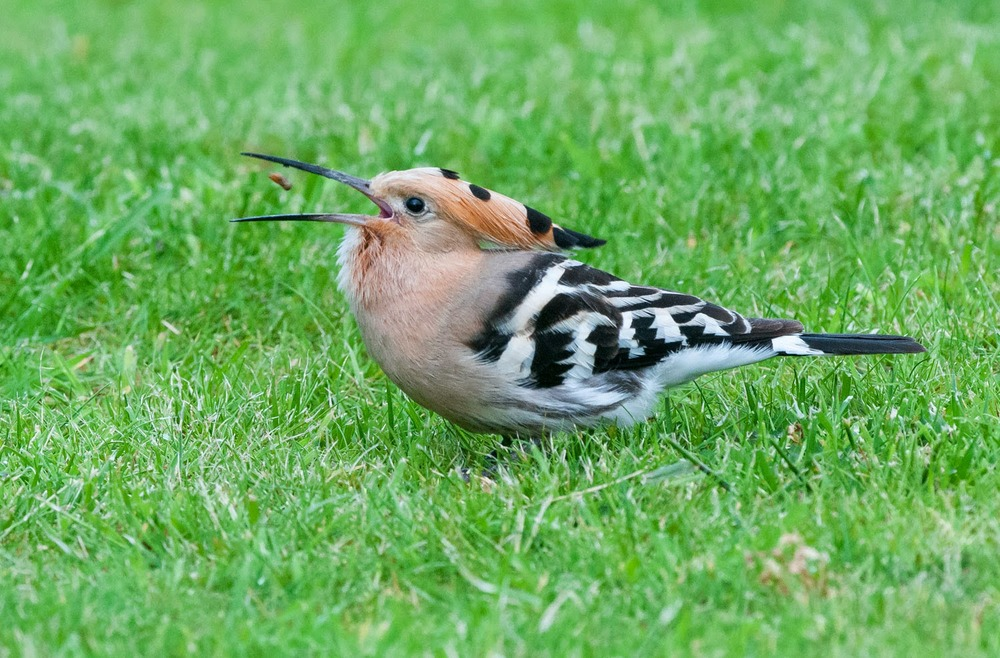 Hoopoe+Saturday+(10+of+11).jpg