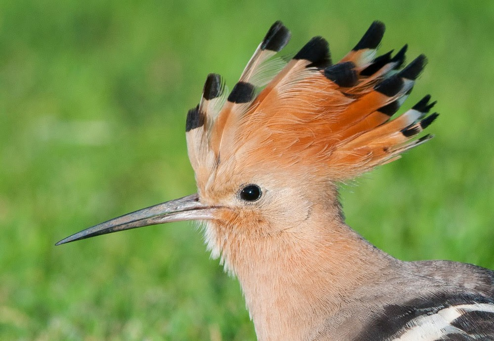 Hoopoe+(2+of+1).jpg
