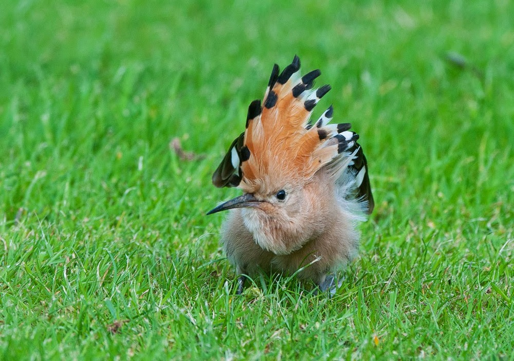 Hoopoe+(6+of+1)-2.jpg