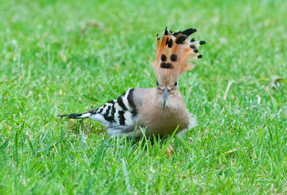 Hoopoe+(5+of+1).jpg