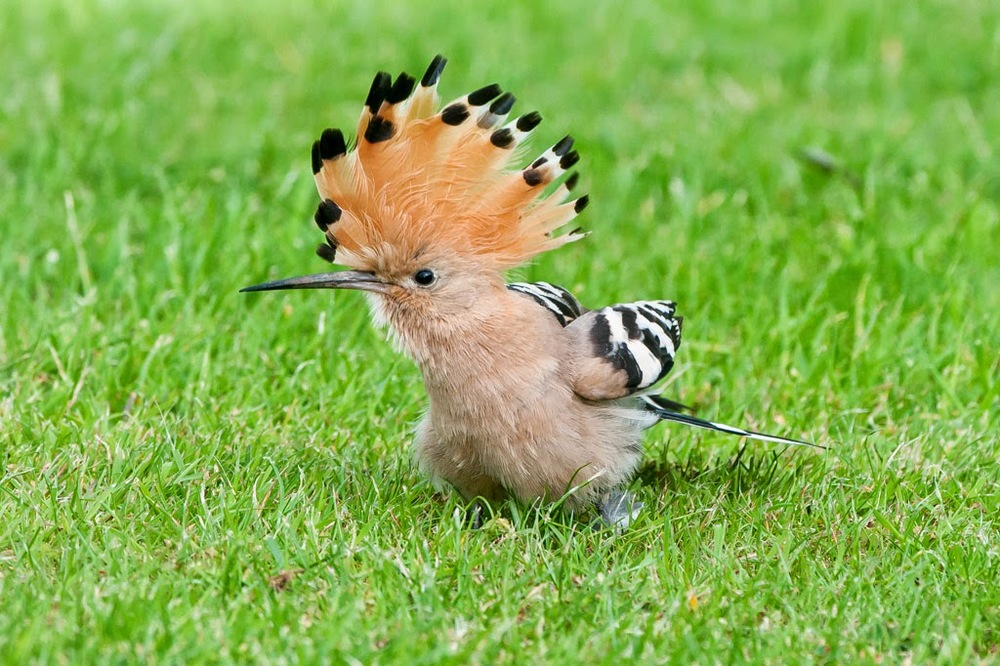 Hoopoe+(7+of+1).jpg