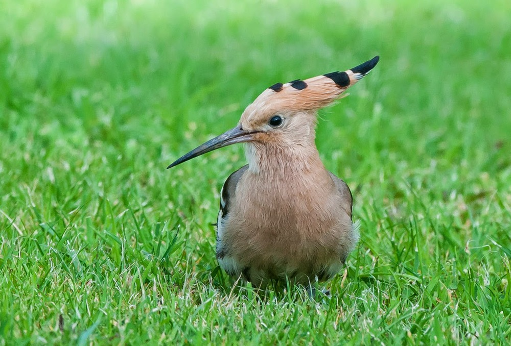 Hoopoe+(6+of+1).jpg